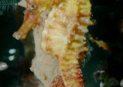 common_seahorse_2_12