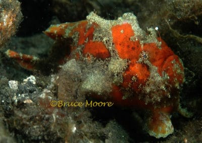frogfish_hr_2_1