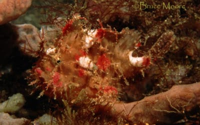 Odd Frogfish of Lembeh