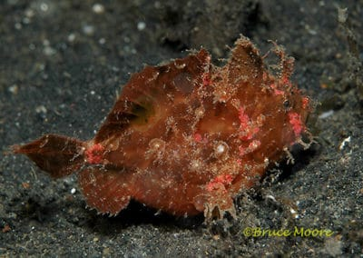frogfish_spotfin_3_1