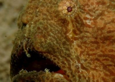 giant_frogfish_2_1