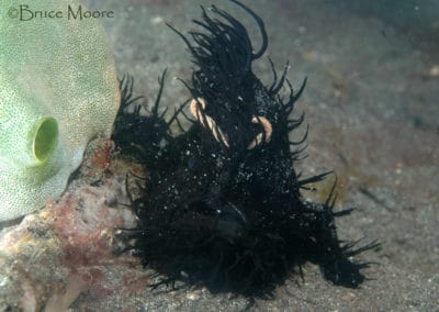 hairy_frogfish_1