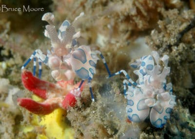 harlequin_shrimp_pair_2_1