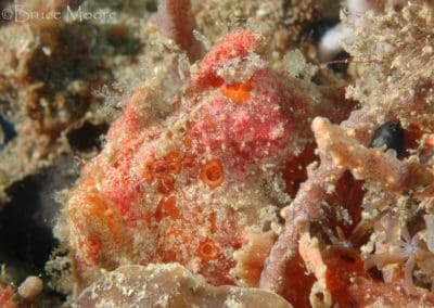 painted_frogfish_12_1