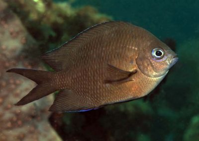 Acanthochromis polyacantha