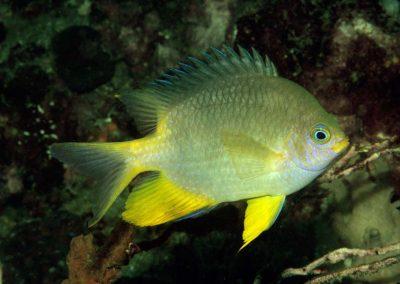 Amblyglyphidodon flavopurpureus adult