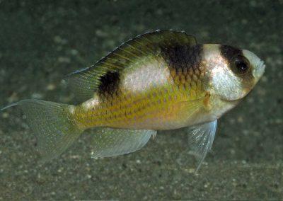 Amblypomacentrus breviceps