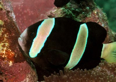 Amphiprion clarkii with eggs