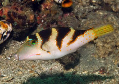 Canthigaster axiologus
