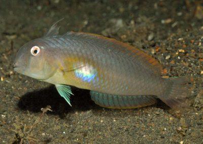 Iniistius melanopus female