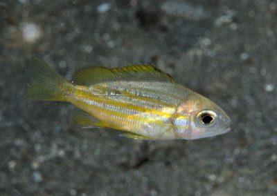 Lutjanus dodecacanthoides juvenile