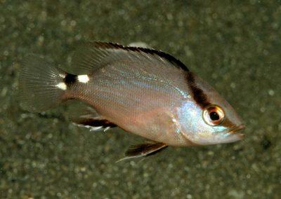 Lutjanus malabaricus juvenile