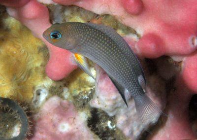 Manonichthys polynemus