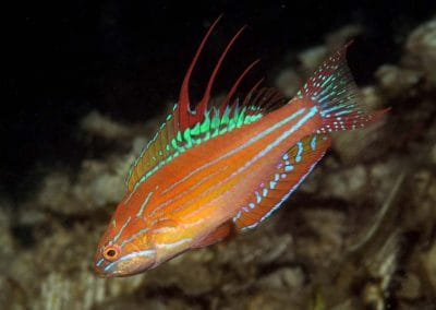 Paracheilinus filamentosus4