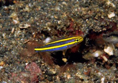 Pentapodus juv