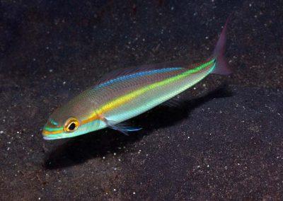 Pentapodus setosus
