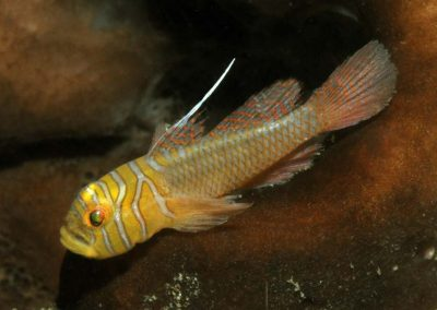 Priolepis vexilla