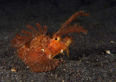 and another ambon scorpionfish