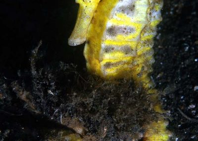 another common seahorse