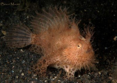 another hairy frogfish