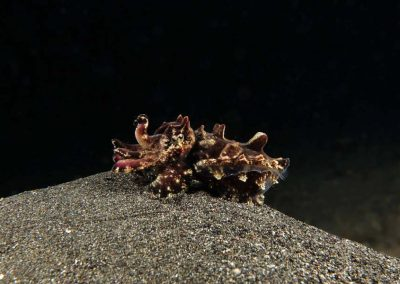 another juvenile flamboyant cuttlefish