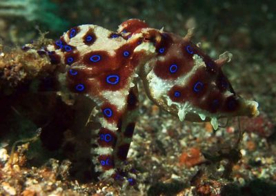 another midring bluering octopus