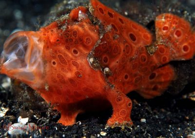 another painted frogfish