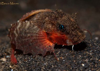 another rough-head stingfish