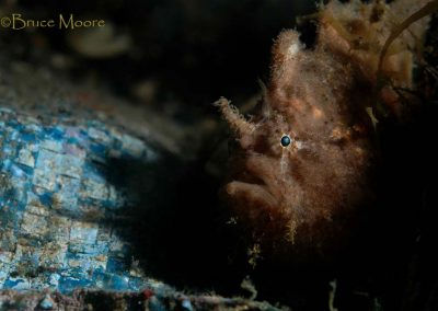 another spotfin frogfish