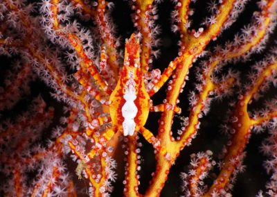 arrowhead crab on sea fan