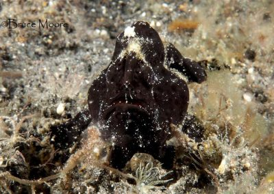 black spotfin frogfish