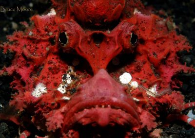 devilfish close-up