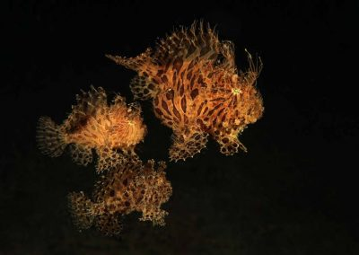 hairy frogfish trio on the move
