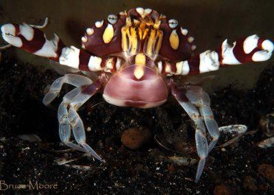 harlequin crab