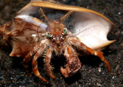 hermit crab with young