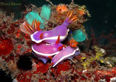hypselodoris bullockii