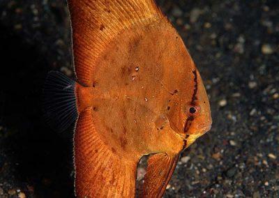 juvenile circular batfish