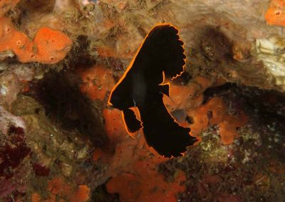 juvenile pinnate batfish