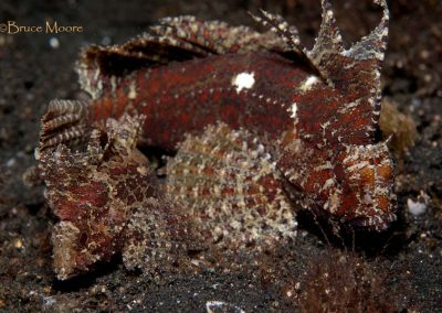 longspine stingfish pair