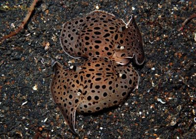 mating euselonops luniceps slugs