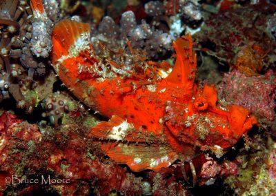 orange devilfish
