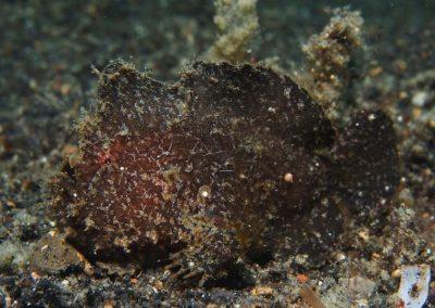 randalls frogfish