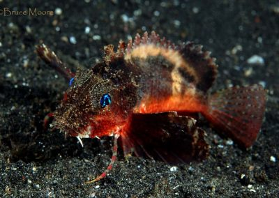 rough-head stingfish