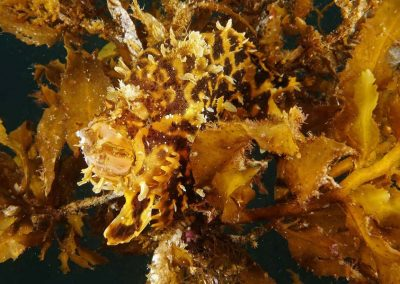 sargassum frogfish eating another one