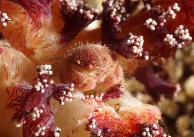 swollen soft coral crab