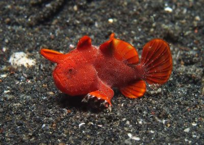 tiny juvenile painted frogfish