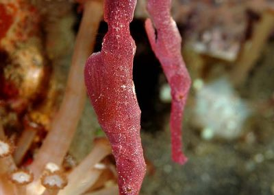 velvet ghost pipefish pair