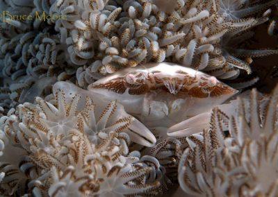 xenia crab