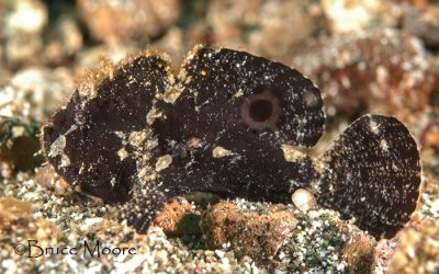 "The ""New"" Lembeh Frogfish"