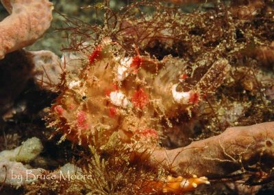 Colourful Lembeh Frogfish